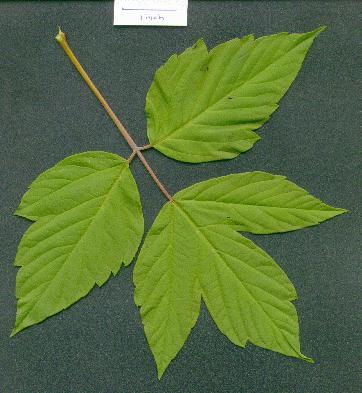 acer_negundo_leaf.jpg